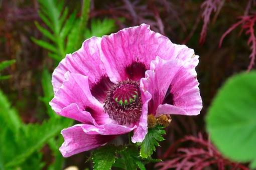 poppy-139357__340